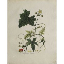 1807, Bryonia Dioica, gravure joliment coloriée à la main, hand coloured print.