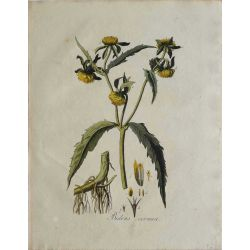 1807, Bidens Cernua, gravure joliment coloriée à la main, hand coloured print.
