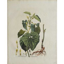 1807, Aristolochia Clematitis, gravure joliment coloriée à la main, hand coloured print.