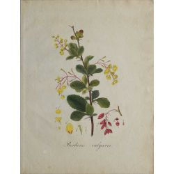 1807, Berberis vulgaris, gravure joliment coloriée à la main, hand coloured print.