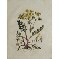 1807, Senecio Jacobaea, gravure joliment coloriée à la main, hand coloured print.