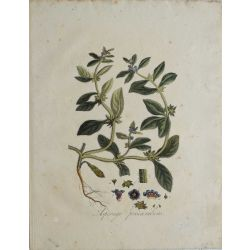 1807, Asperugo Precumbens, gravure joliment coloriée à la main, hand coloured print.