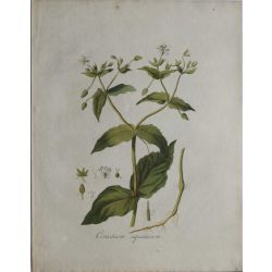 1807, Cerastium Aquaticum, gravure joliment coloriée à la main, hand coloured print.
