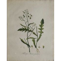 1807, Thlaspi Bursa Pastoris, gravure joliment coloriée à la main, hand coloured print.
